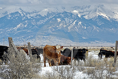 Winter Cattle Royalty Free Stock Images Image 4591829