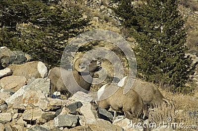 Winter Colorado big horn sheep