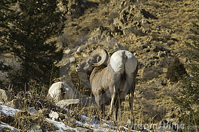 Winter Colorado big horn sheep