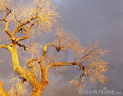 Winter Cottonwood In Santa Fe Sunset Light