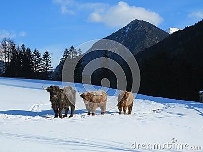 Snow mountain animals - photo#26