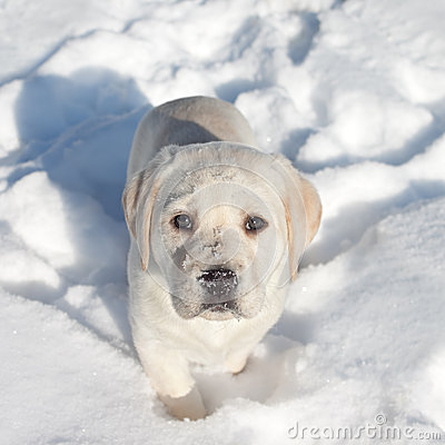Free Winter Dog Snow Royalty Free Stock Images - 33491589