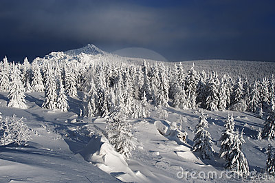 Winter fir forest in mountains