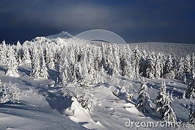 Winter fir forest in mountains