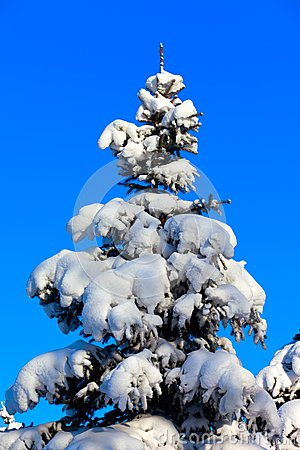 Winter fir tree on background of blue sky
