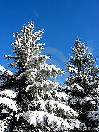 Winter fir trees under snow