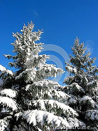 Free Winter Fir Trees Under Snow Royalty Free Stock Photos - 390768