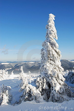 Winter  firs under snow
