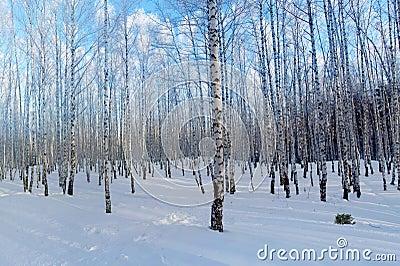 Winter forest birches
