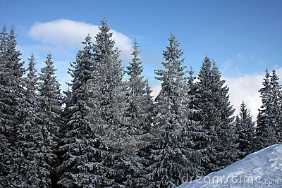 Winter forest of Carpathians in a sun day