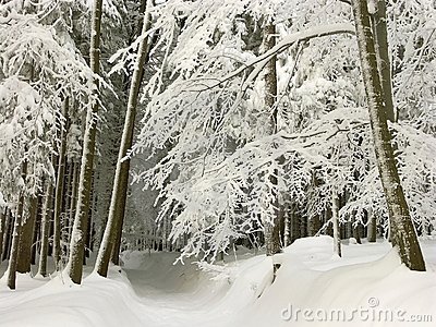 winter forest path, fresh snow covered trees