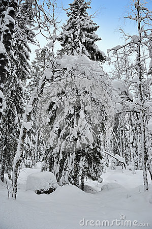 Winter forest tree