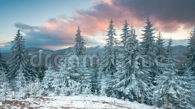 Winter forest with trees covered snow stock video