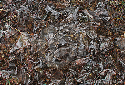 Winter Frosted Mulberry Leaves