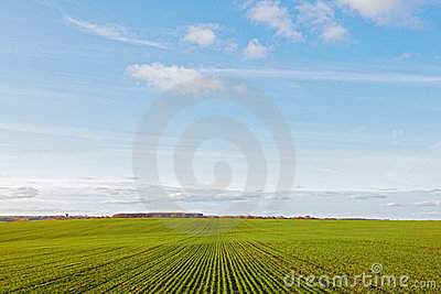 Winter grain crops green field and clouds blue sky