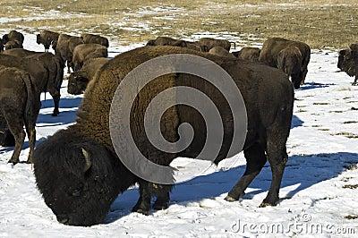 Winter grazer