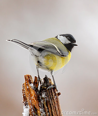Free Winter Great Tit  Royalty Free Stock Images - 25781019