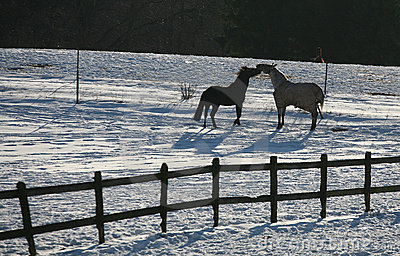Winter horses denmak