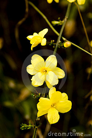 Winter jasmine flowers
