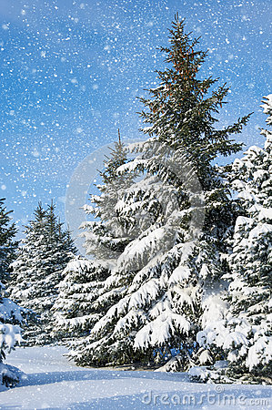 Free Winter Landscape Fir Trees With Snow Royalty Free Stock Image - 63130916
