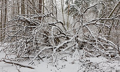 Winter landscape of natural forest with dead birch trees