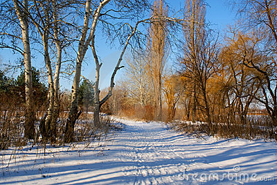 Winter landscape with poplars and track in snow