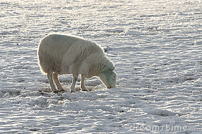 Winter landscape  and sheep