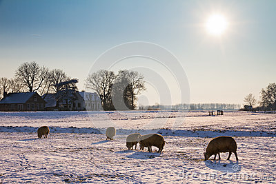 Winter landscape sheep