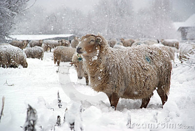 Winter landscape with sheep and snow