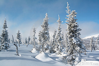Winter landscape with snow spruces