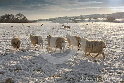 Winter landscapeand sheep in snow