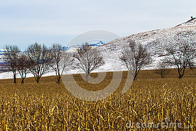 Winter Maize Field Dry Trees Snow
