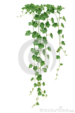 Free Winter Melon Or Wax Gourd Vines With Thick Green Leaves And Tend Royalty Free Stock Photos - 88131678