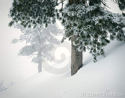 Winter Mountain Landscape Fresh Snow Pines