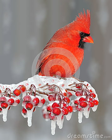 Free Winter Northern Cardinal On Icy Berries Royalty Free Stock Images - 28280479