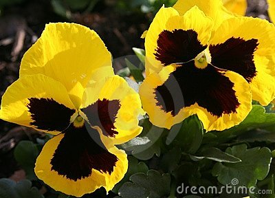 Winter Pansies