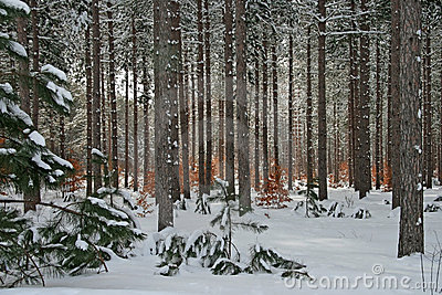 Winter Pine and Beech Tree Forest