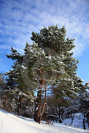 Winter pine-tree