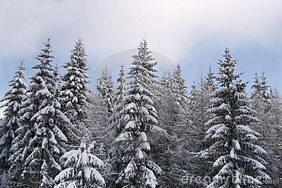 Winter pine tree forest edge.