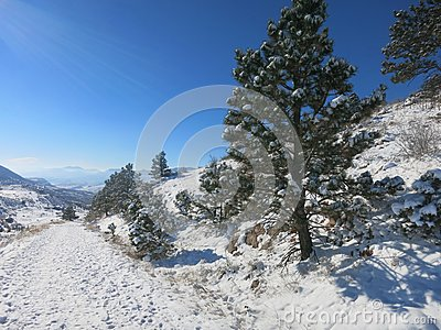 Winter Pine Trees in Snow with Sunbeam Shining -- These snow-covered pine trees show the winter scenery