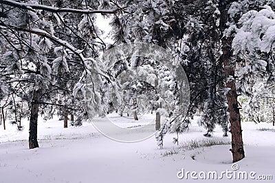 Winter pinewood