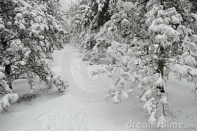 Winter pinewoods