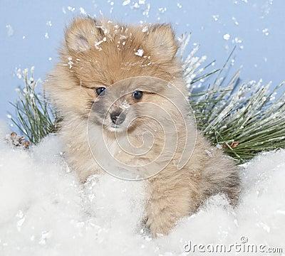 Winter Pom