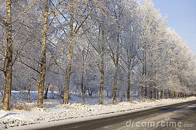 Winter poplar trees alley