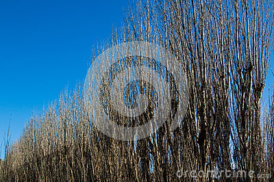 Winter Poplar Trees