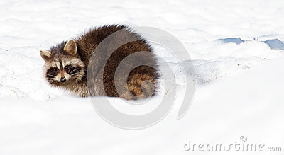 Winter Raccoon.