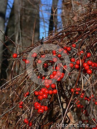 Winter: red berries oriental bittersweet