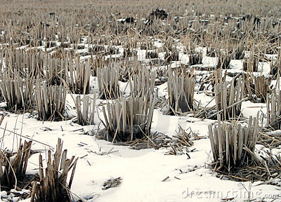 Winter rice field detail