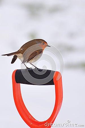 Winter Robin (Erithacus rubecula)
