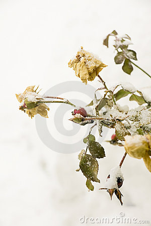 Free Winter Rosehips Royalty Free Stock Images - 7968689